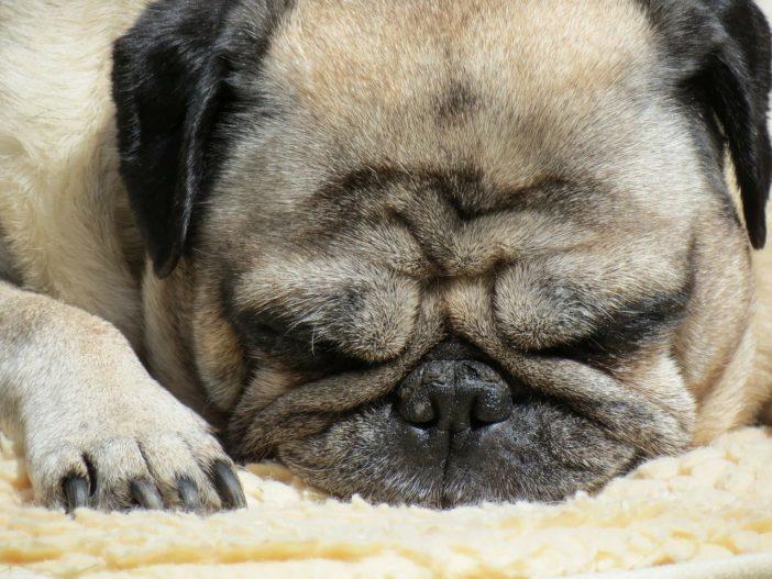 Übergewicht bei Hunden erkennen