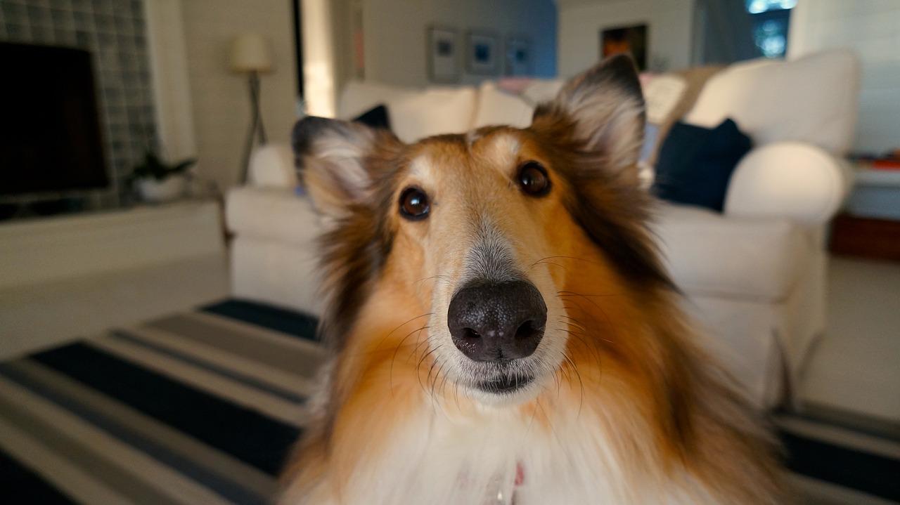 Hundehaare entfernen so geht es ohne großen aufwand