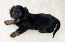 Hunde-Welpe stubenrein