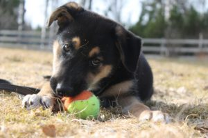 Hunde-Welpe Stubenreinheit