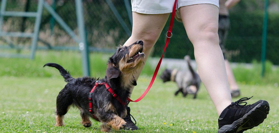 Leinenführigkeit beim Hund