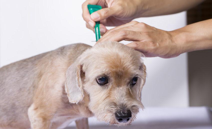 Ektoparasiten beim Hund - Flöhe, Zecken, Milben