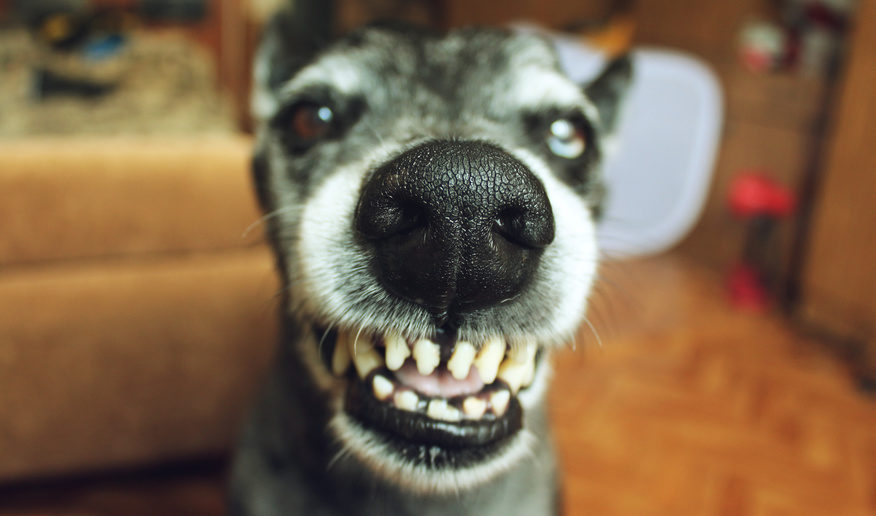 Homöopathische Bachblütenessenzen gibt es auch um Aggressivität beim Hund zu behandeln