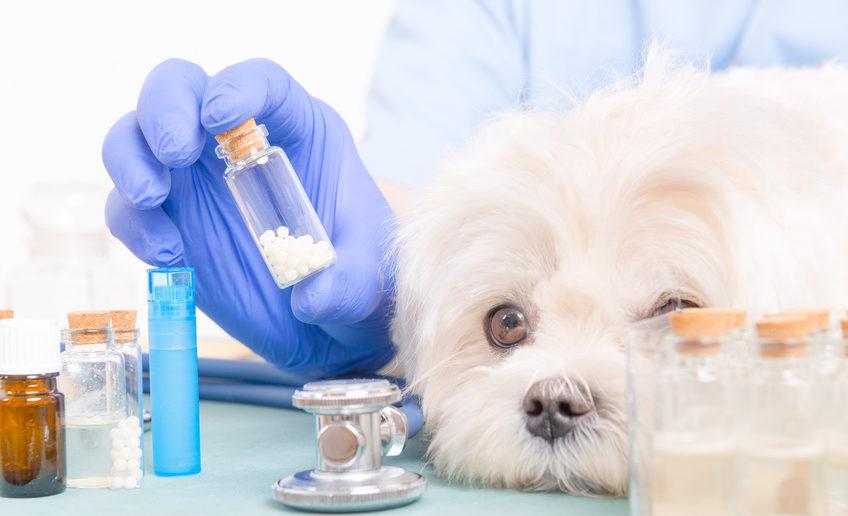 Dosierung Bachblüten Globulis beim Hund