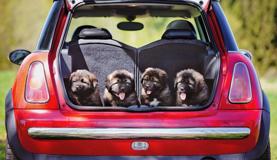 Hundewelpen Autofahre