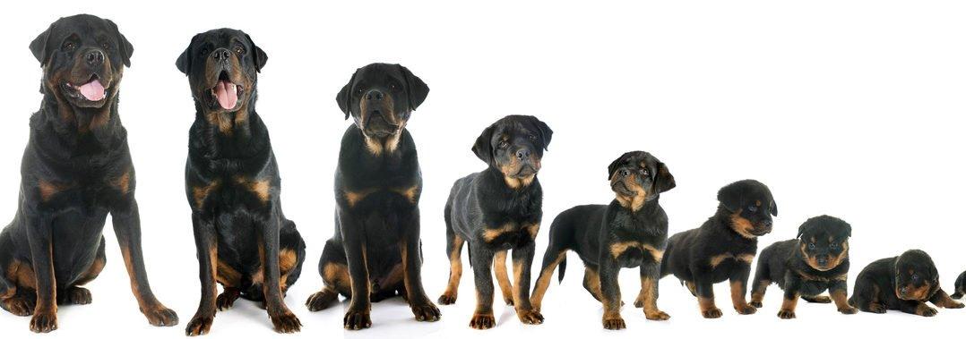 Bild / Foto: Wachstum Hundewelpe