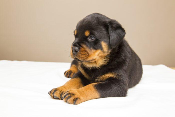 Bild / Foto: Wann ist ein Hund ausgewachsen?