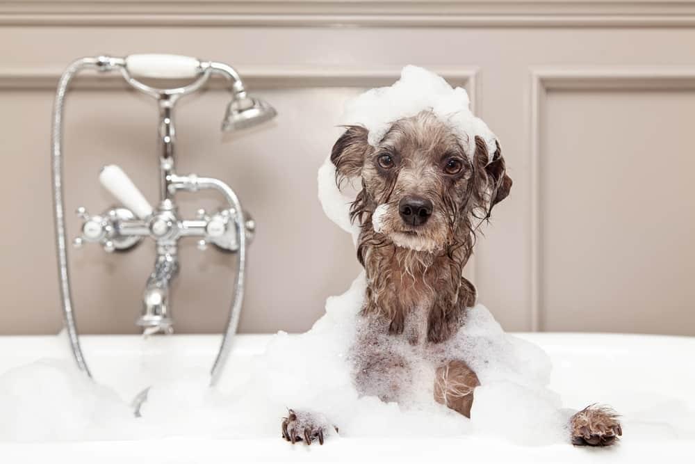Bild / Foto: Schuppen beim Hund behandeln: Hund baden
