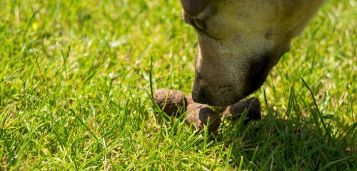 Bild / Foto: Hund frisst Kot