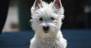 Kleiner Weißer Hund zittert
