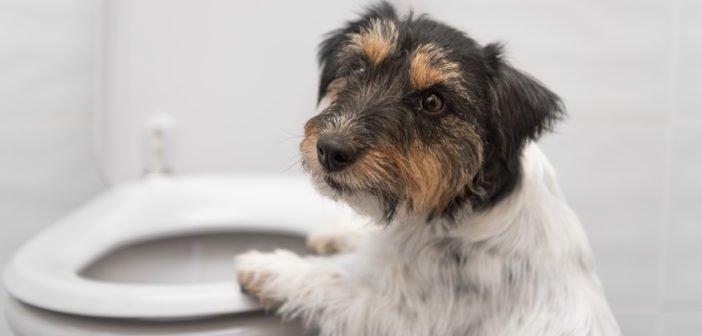 Blasenentzündung beim Hund – Symptome + Heilung der Zystitis