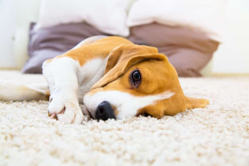 Erkältung beim Hund Symptome