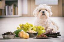 Hund giftige Lebensmittel